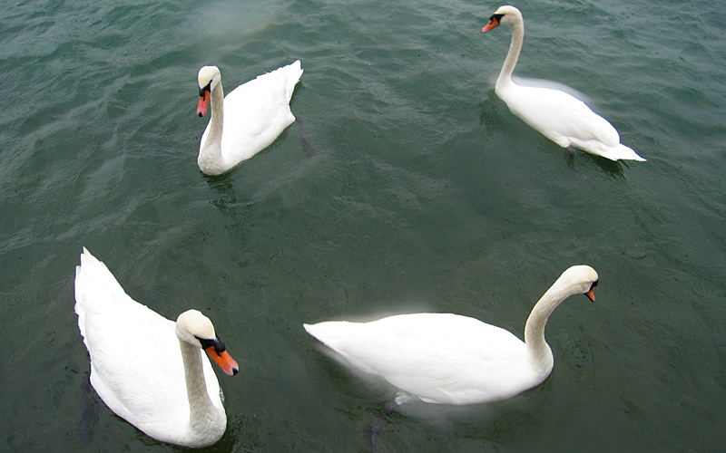 Sunday October 22nd (2006) four swans
