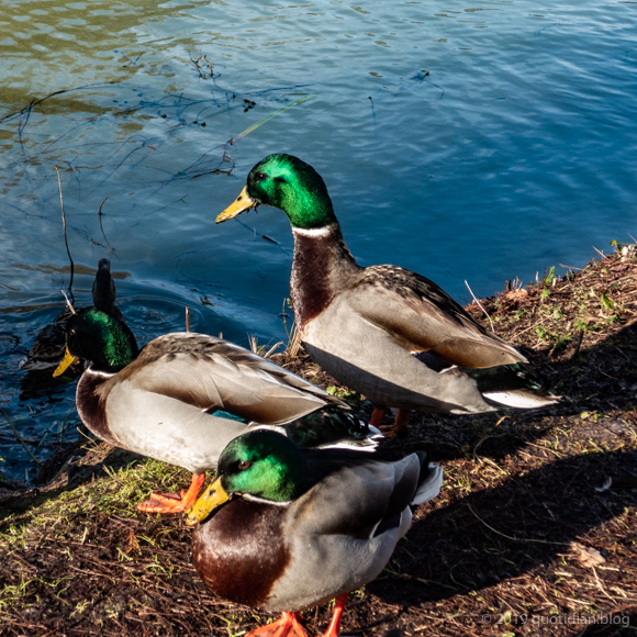 Sunday February 3rd (2019) mallards