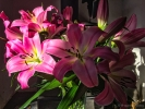 lilies from tesco