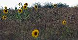 Fri 14th<br/>sparse sunflowers