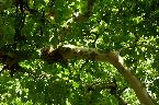 Wed 21st<br/>london plane