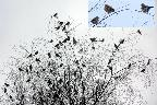Wed 8th<br/>tree full of fieldfares