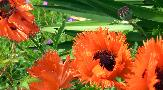 Wed 16th<br/>papaver