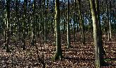 20th: beech woods