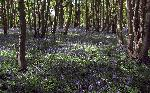 Sun 26th<br/>bluebell season