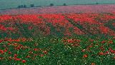 13th: �ber-poppies