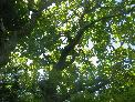 19th: oak canopy