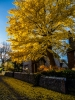 18th: gingko biloba